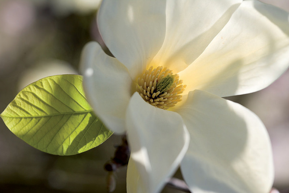 Magnolia_di Pistoia_IGP
