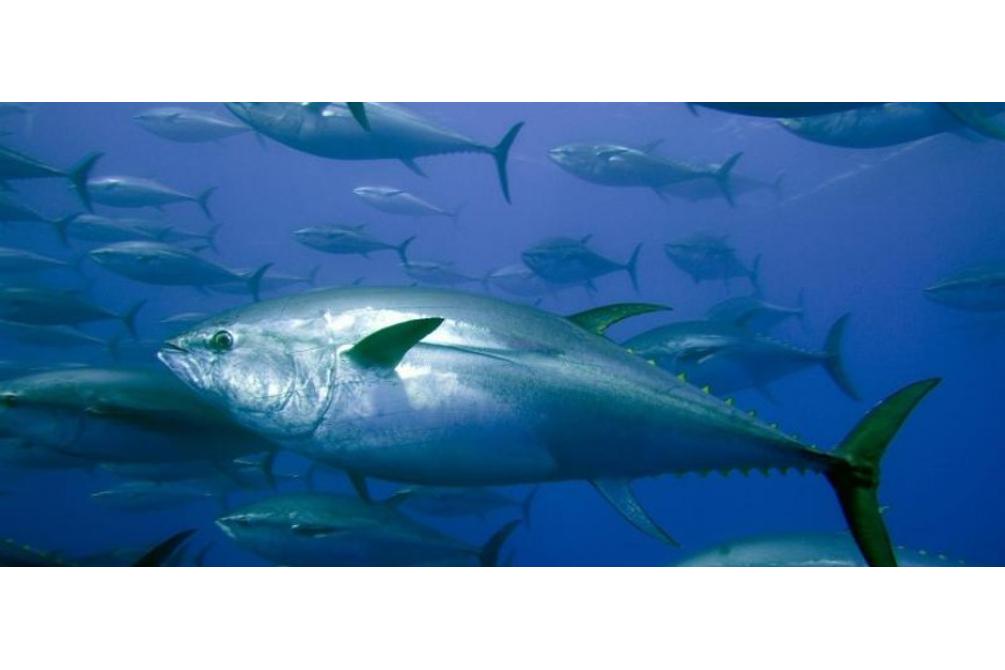 Il tonno rosso di Carloforte © newsfood.com