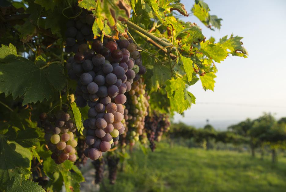 L'uva Corvina, una delle varietà utilizzate per la produzione dell'Amarone. Foto / Shutterstock.com