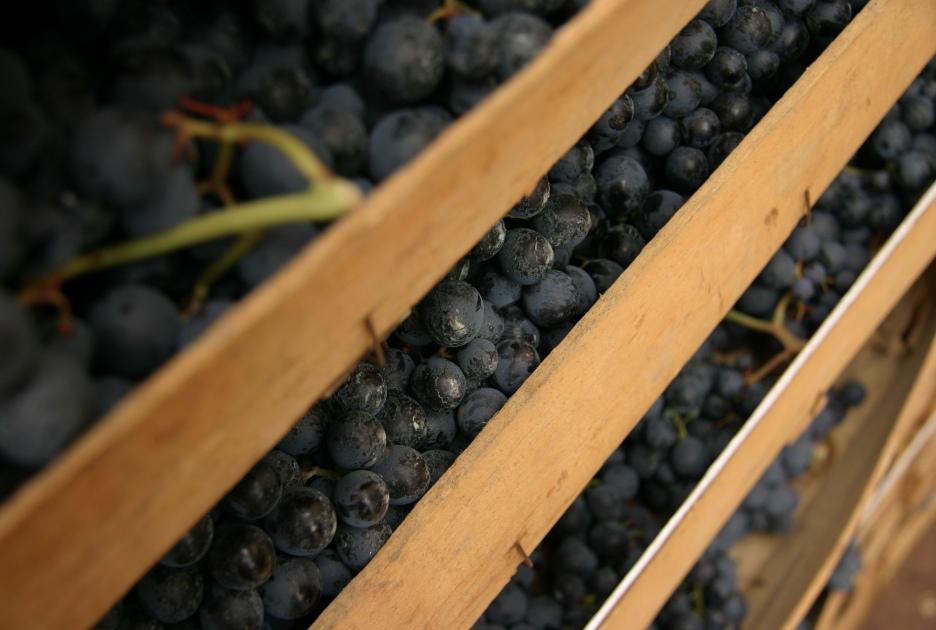 L'uva rossa appena raccolta per la produzione dell'Amarone. Foto / Shutterstock.com