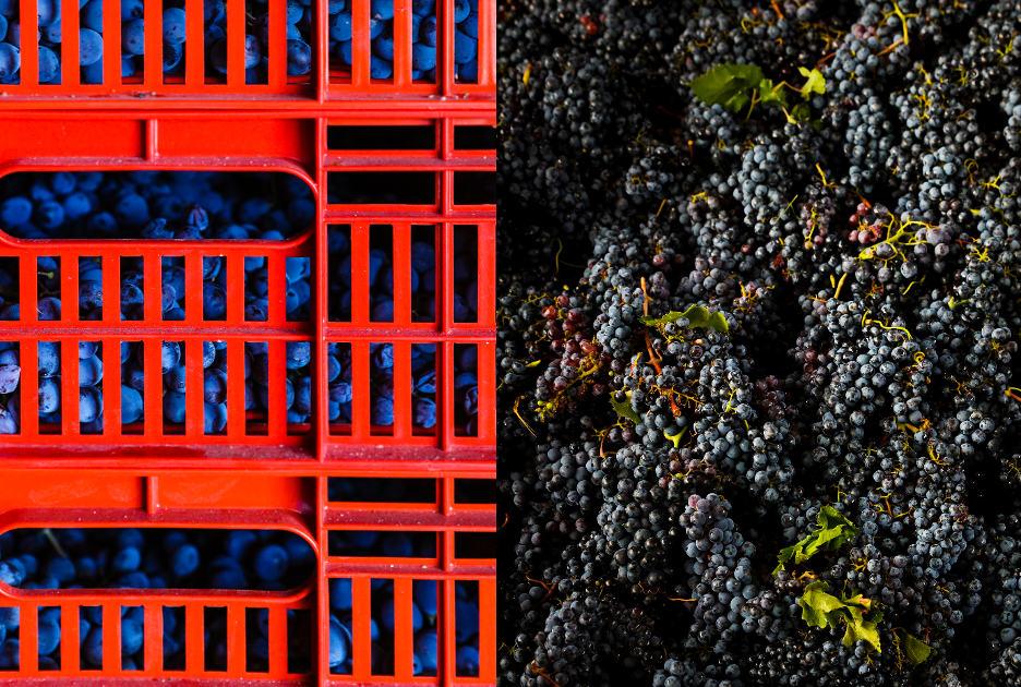 Виноград, из которого делают Амароне. Фото / Shutterstock.com