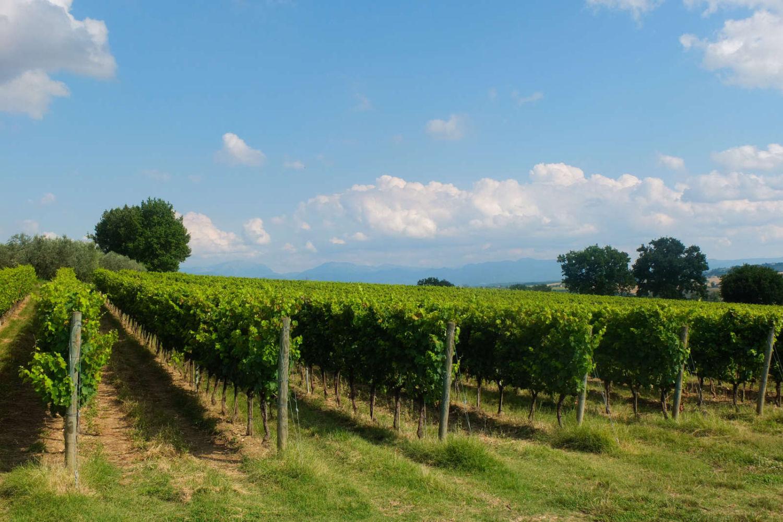 Виноградники в Марке